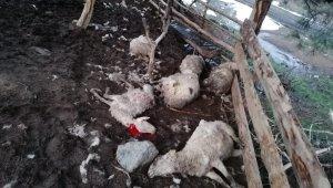 Ayvagediği Yaylası'nda ağıla giren köpekler 10 koyunu telef etti