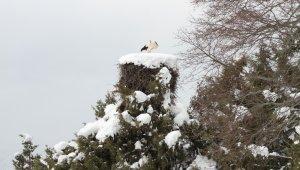 Beyşehir'de erken gelen leylekler kar altında kaldı