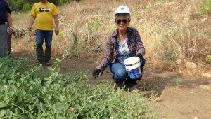 Değersiz diye arazilerden sökülen bitkinin kilosu 2.5 Euro