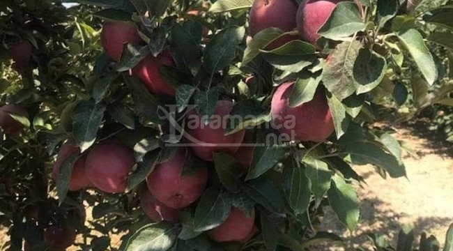 Mut elması Hindistan yolcusu