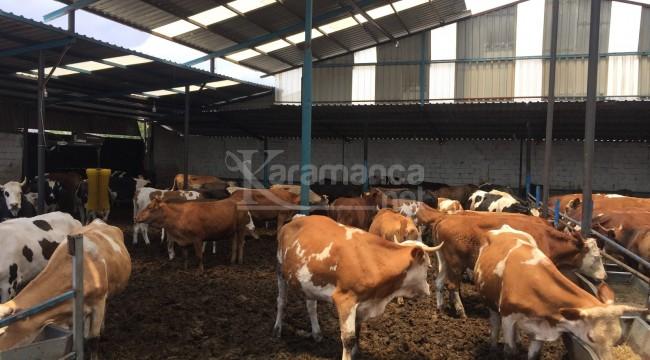 Konya'da kurbanlık hayvan canlı kilo fiyatları