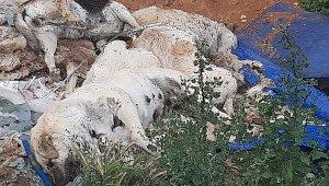 Zehirli tavuk yedirilen köpek ve kediler öldü