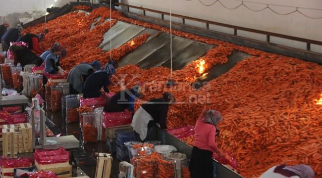 Hasat edilen havuçlar dünya pazarlarına gönderiliyor