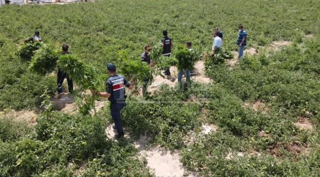 Jandarma domates tarlasını didik didik aradı