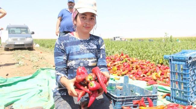 Karaman'da üretilen salçalık biberler 7 ile gönderiliyor