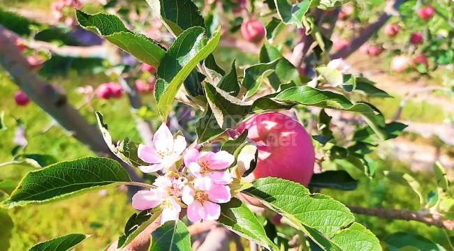 Aylar sonra yağış gelince elma ağacı hasat zamanı çiçek açtı
