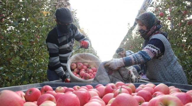Karaman'da günlük 13 bin kişi elma toplamaya gidiyor